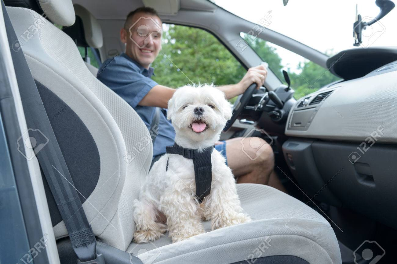 Small Dog Maltese In A Car His Owner In A Background Dog Wears