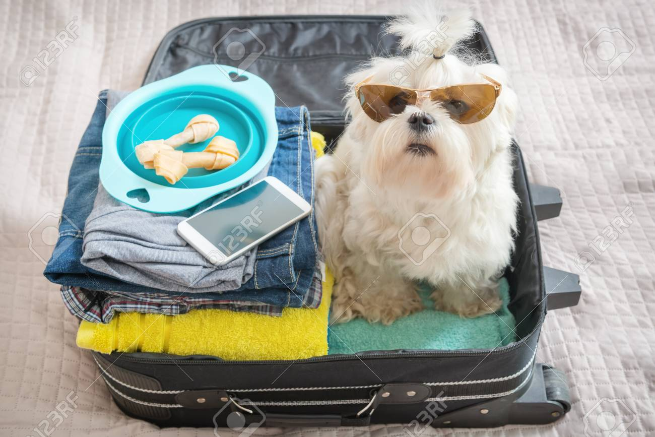 Small dog maltese sitting in the suitcase or bag wearing sunglasses and waiting for a trip - 77785910