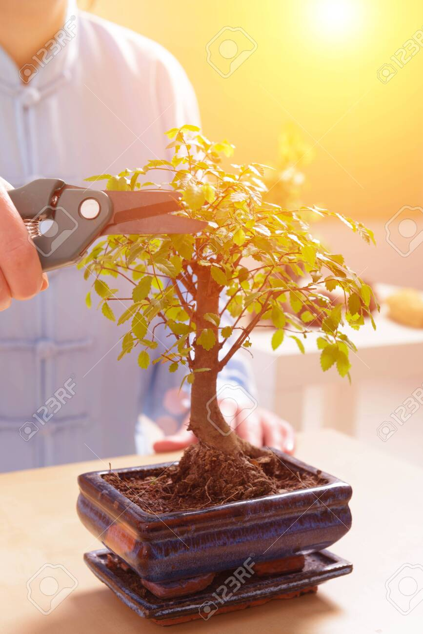 Growing Little Bonsai Tree With Special Pruning Scissors Stock Photo Picture And Royalty Free Image Image 135173478