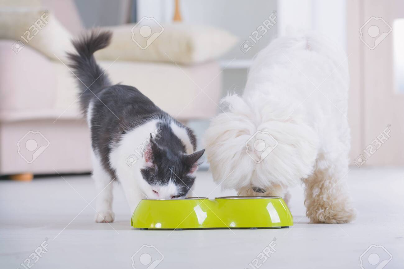Little dog maltese and black and white cat eating food from a bowl in home - 137308946