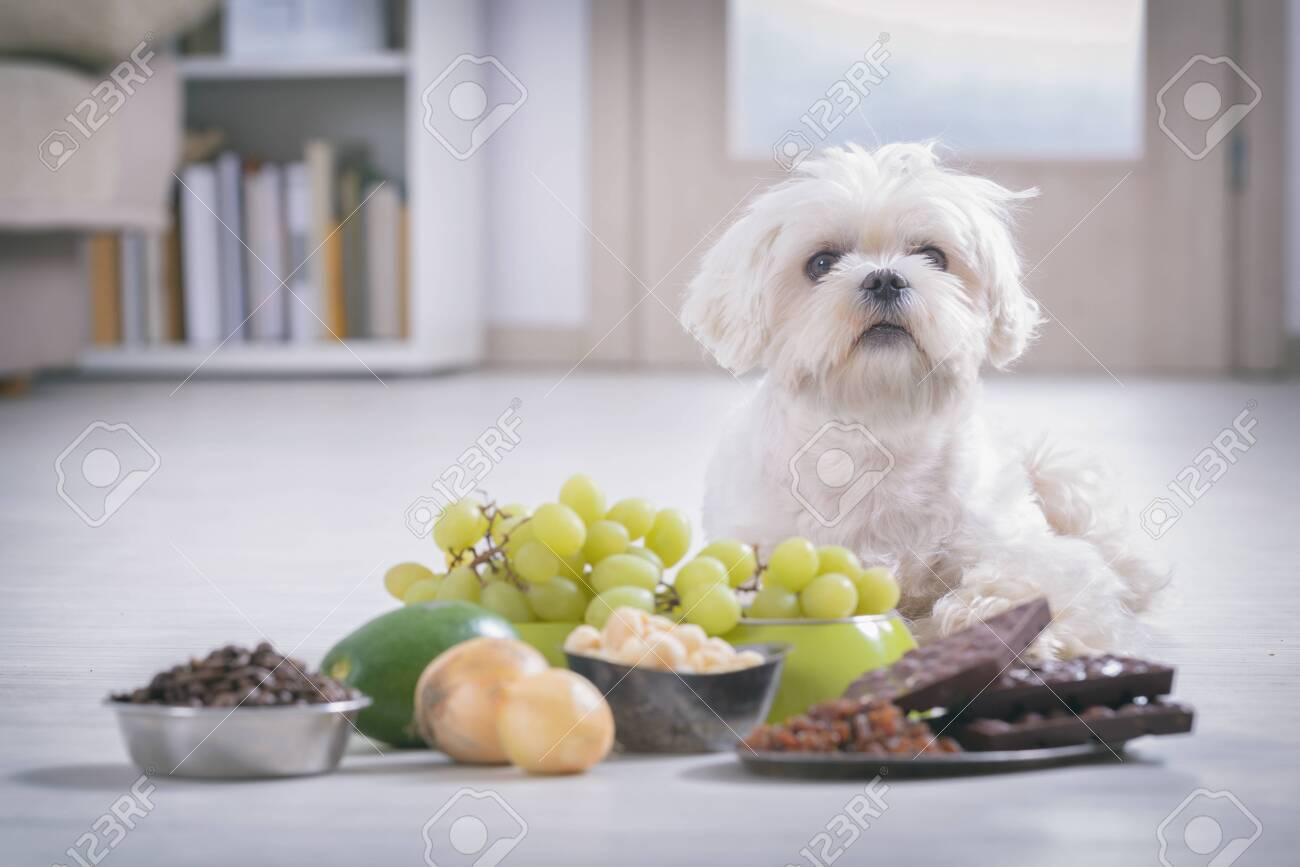 Little white maltese dog and food ingredients toxic to him - 142351969