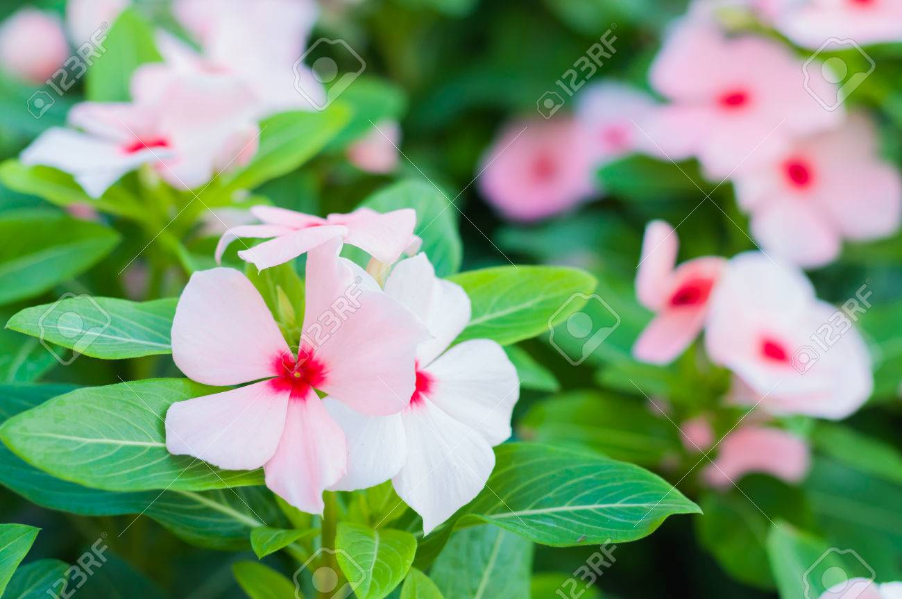 Beautiful Pink Vinca Flowersmadagascar Periwinkle Stock Photo