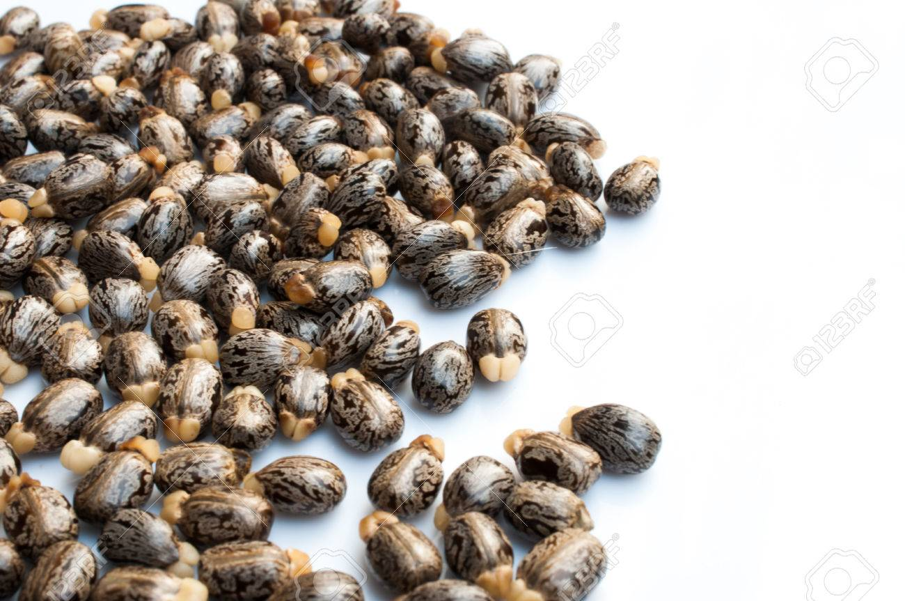 Castor Oil Seeds Ricinus Communis Stock Photo Picture And Royalty Free Image Image 37745216