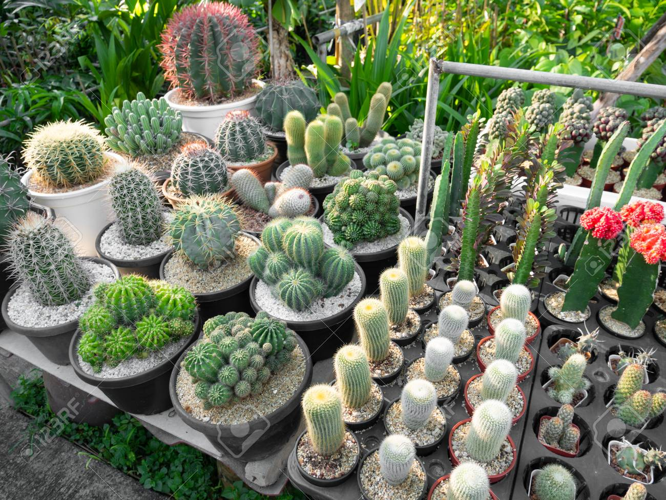 Variety Of Cactus Plants For Sales In Plant Shop Stock Photo
