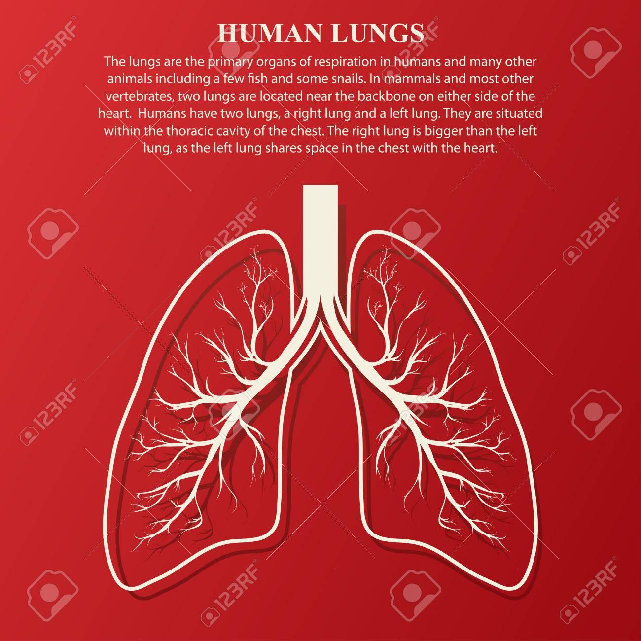 Ilustración De La Anatomía Humana De Pulmón Con Texto De Ejemplo ...
