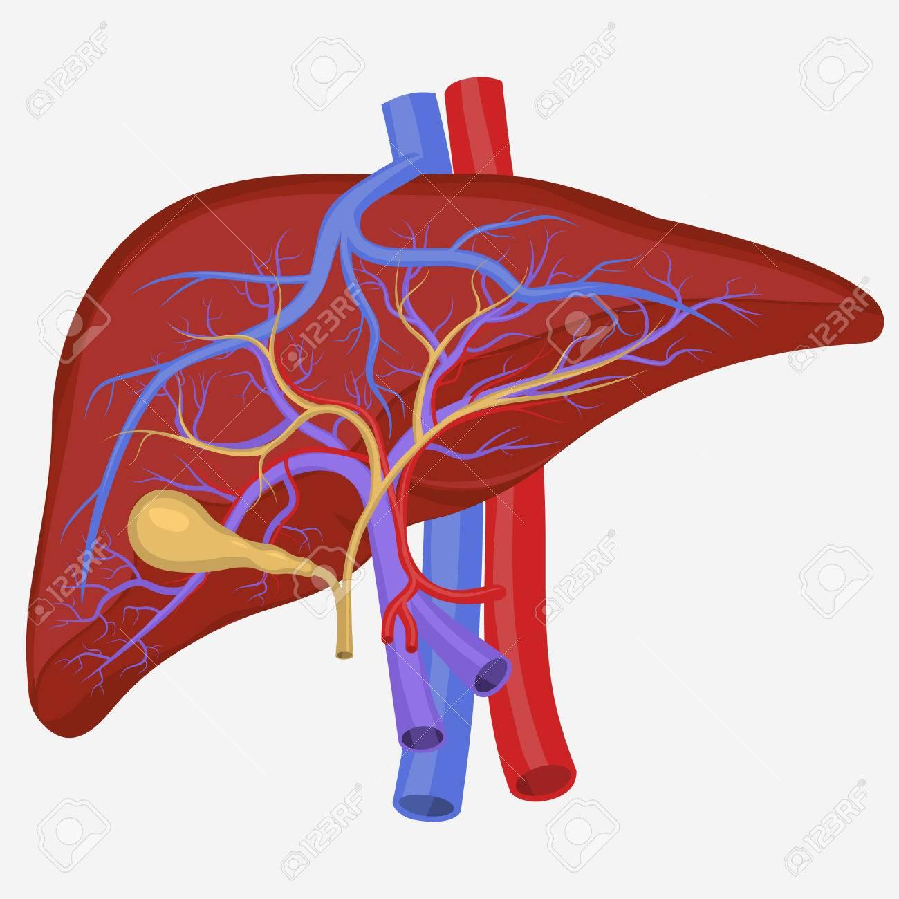Sección Del Hígado Humano Interno, Ilustración Sistema Digestivo ...
