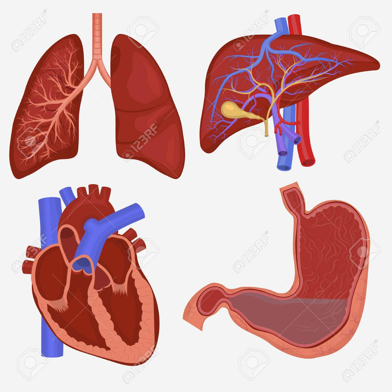 Human internal organs set lungs liver stomach and heart anatomy human internal organs set lungs liver stomach and heart anatomy vector illustration ccuart Image collections