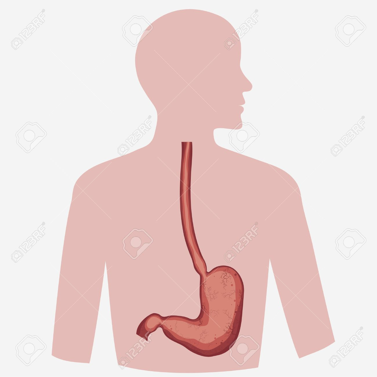 Stomach Vector Digestive Diagram Set, Human Anatomy Image. Illness ...