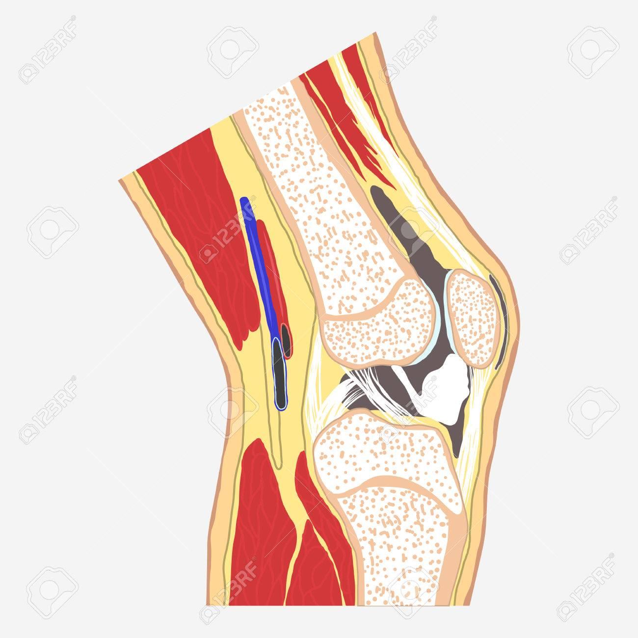 Menschliches Kniegelenk, Medizinische Körper Anatomie, Orthopädische ...