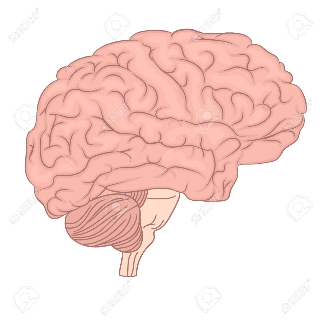Human Brain Organ Anatomy Diagram Lateral View Colorful Design