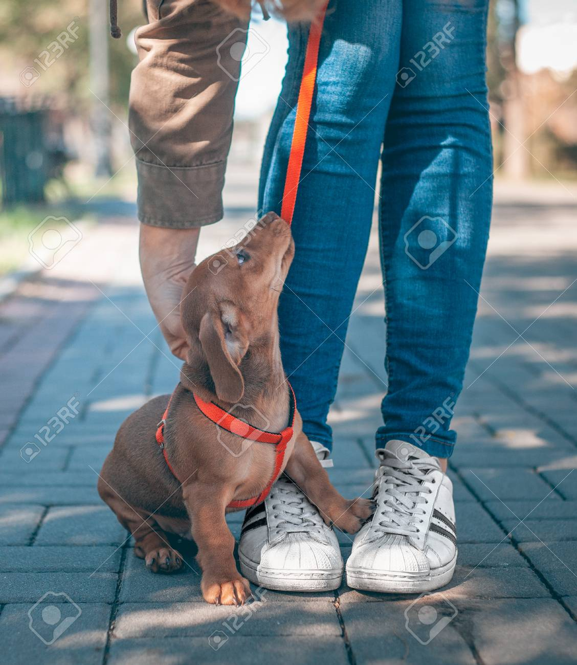 Dachshund Puppy Of Brown Color Is Standing Next To A Man In Blue Stock Photo Picture And Royalty Free Image Image 111961203