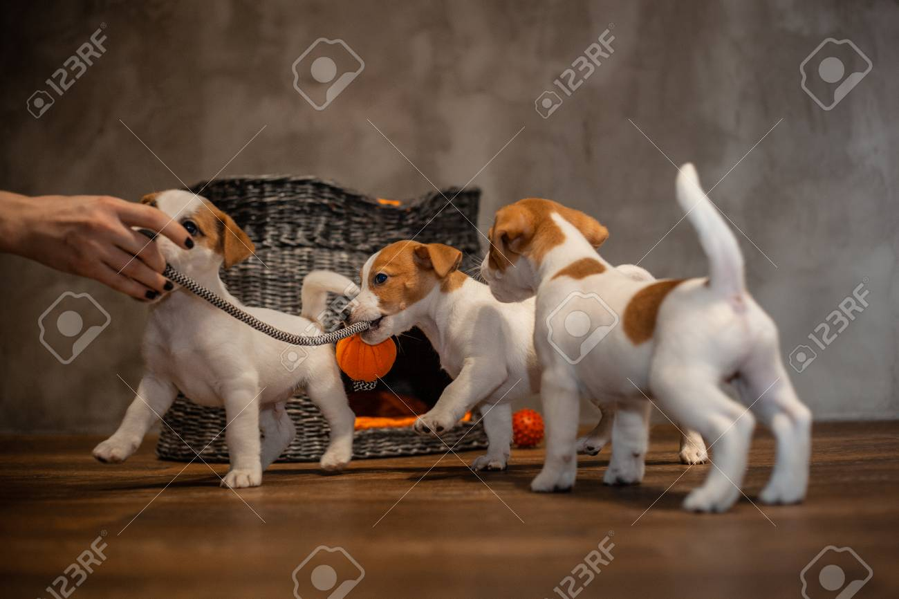 Jack Russell Terrier puppies are played next to a wicker gray