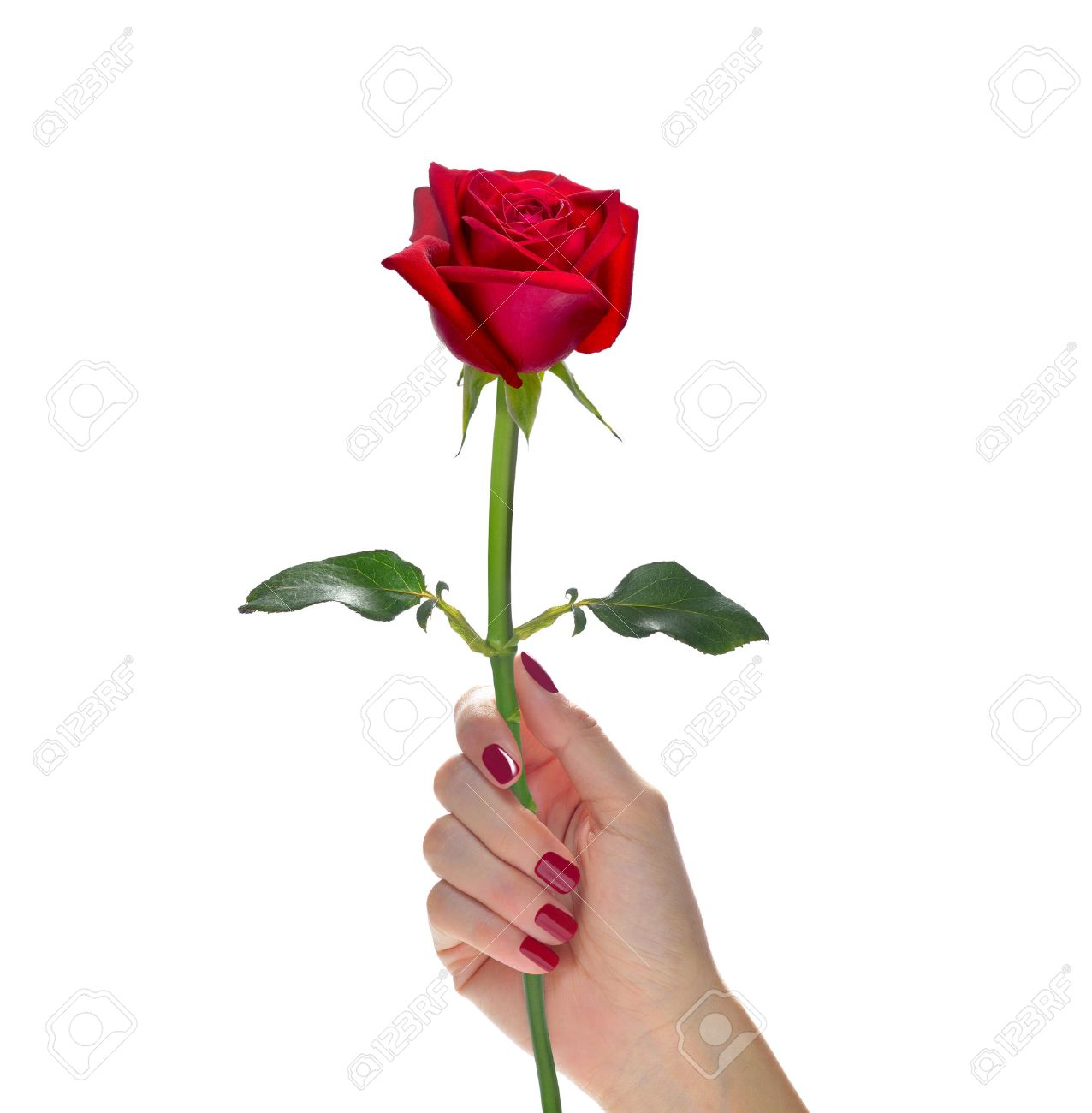 Hand Holding Beautiful Red Rose Flower Isolated On White Stock Photo