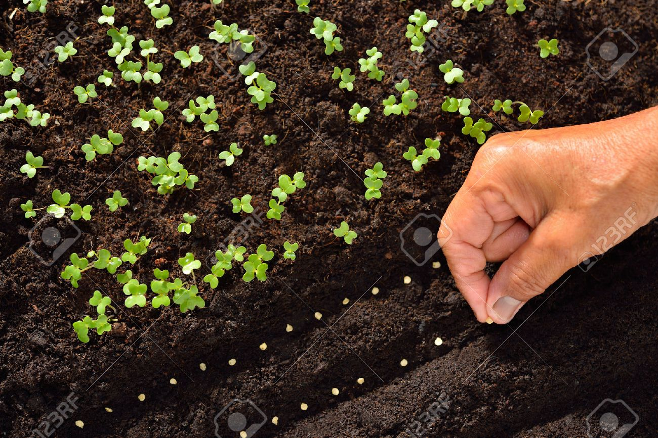 Farmer's hand planting seeds in soil - 57145199