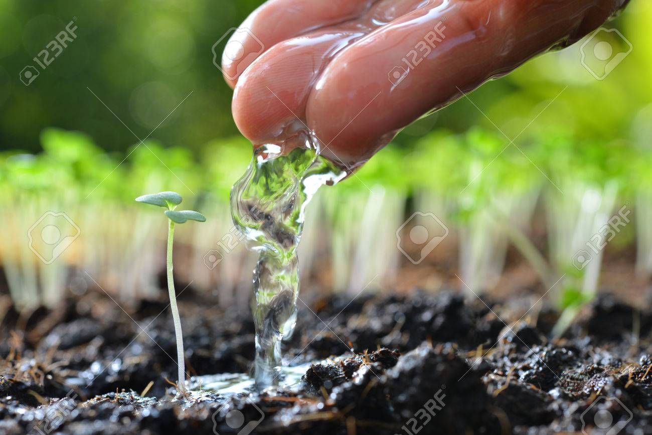 Farmer's hand watering a young plant - 57145233