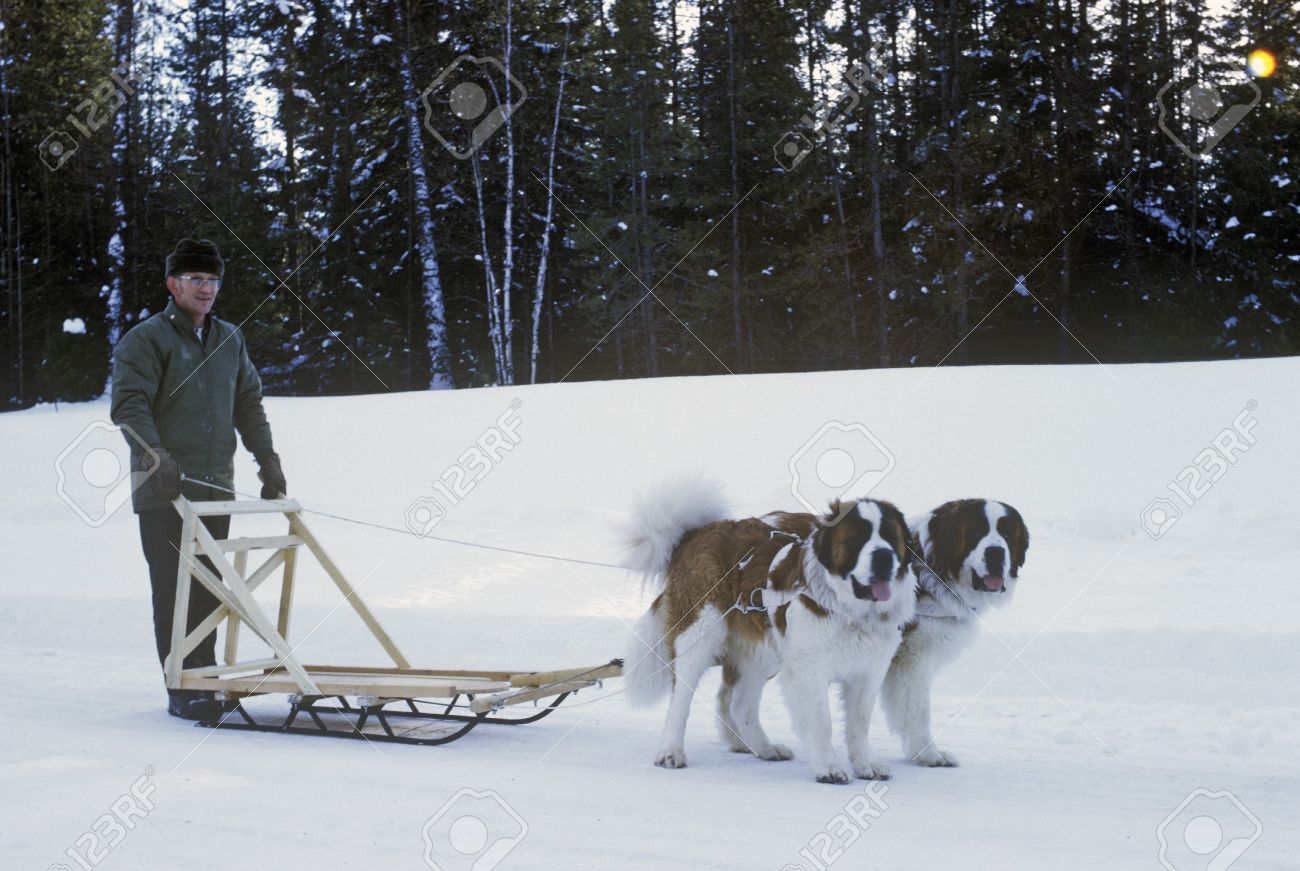 st bernards pulling sleigh in snow stock photo picture and royalty
