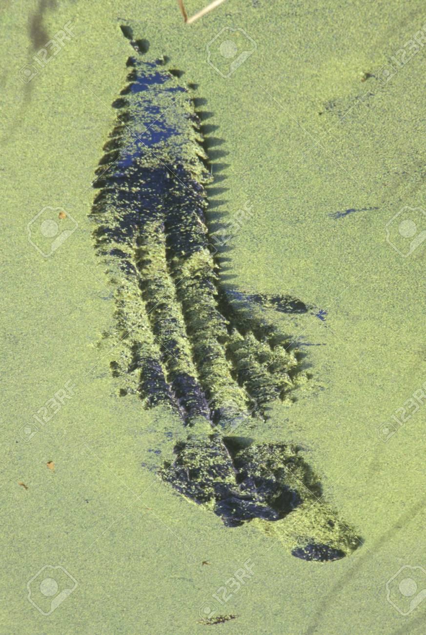 American Alligator, Hunting Island, SC, Alligator Mississippietes