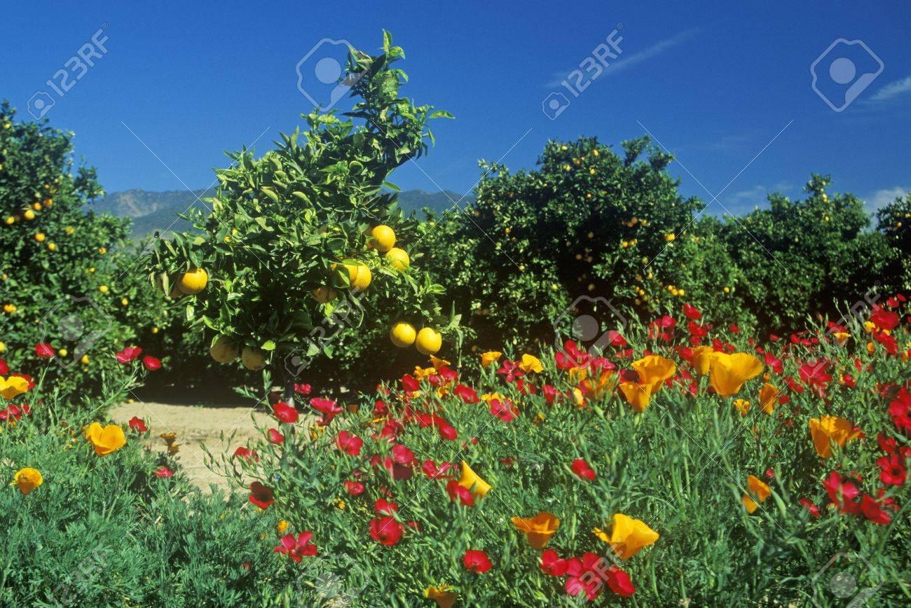 Spring Flowers In Orange Groves Ventura County Ca Stock Photo