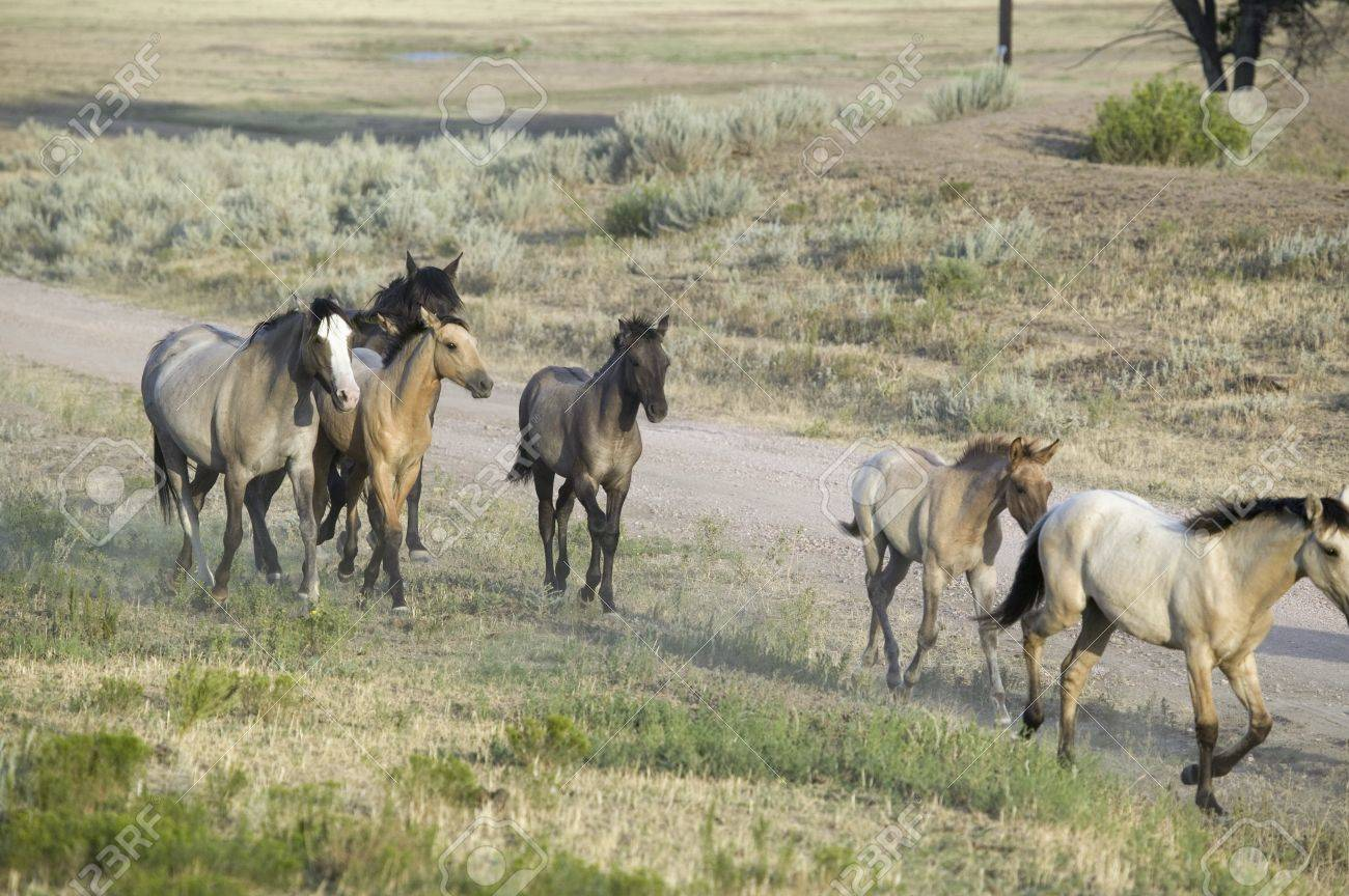 Wild Horses Walking Along Roadside Of Black Hills Wild Horse Stock Photo Picture And Royalty Free Image Image 20512044
