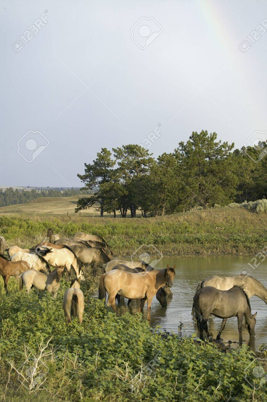 Large Group Of Wild Horses Wading Into Pond At Black Hills Wild Stock Photo Picture And Royalty Free Image Image 20512205