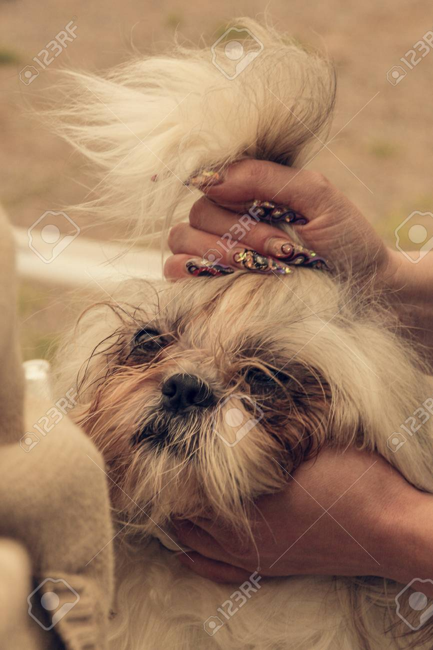 Female Hand With Manicure And Shih Tzu Dog Grooming Stock Photo