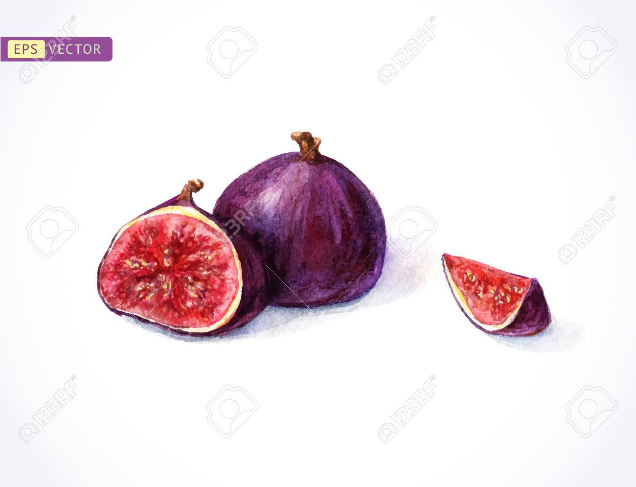 Watercolor Figs Vector Illustration Hand Painting Royalty Free