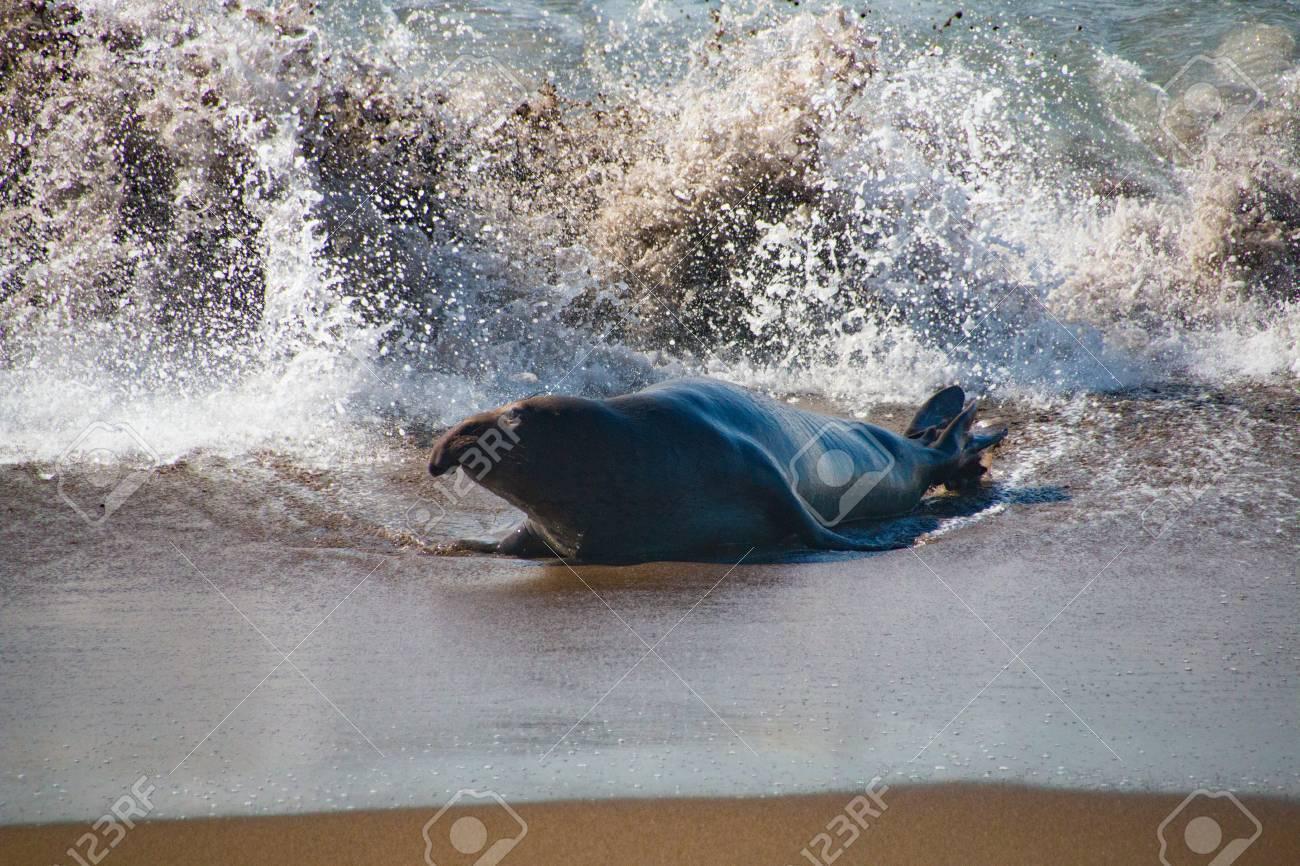 Mannelijke Olifantsverbindingen Die Uit Het Water In De Vs Californië Komen
