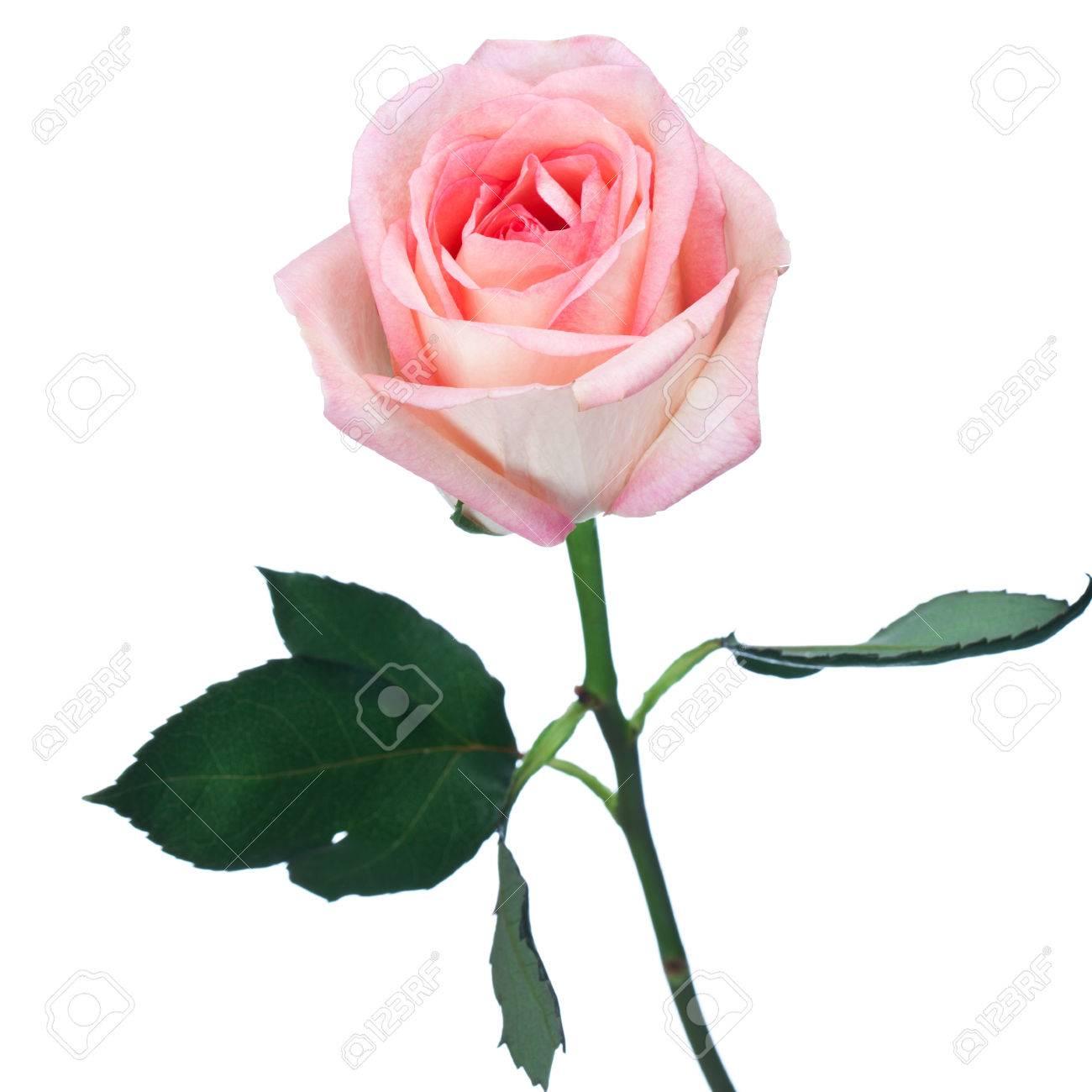 Single Resultierte Lange Perfekt Rosa Rose Fur Einen Geliebten