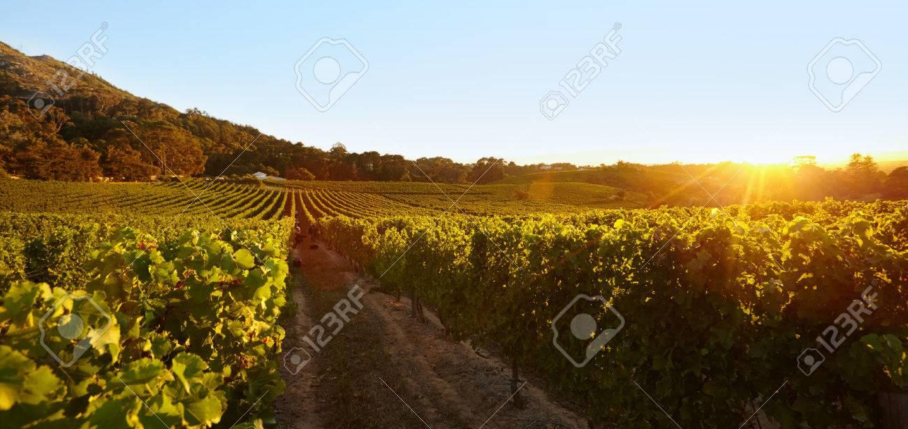 Champ De Vigne des rangées de vignes donnant du fruit dans la vigne. champ de