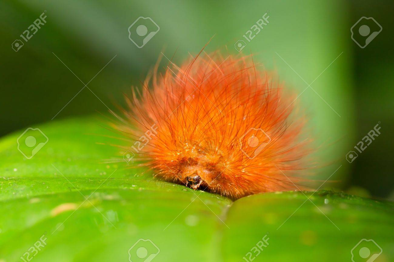 caterpillars are the larval form of a member of the order