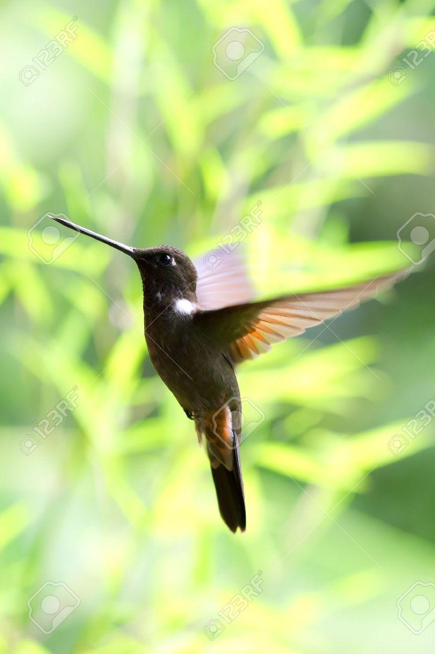 rufous hummingbird stock photos royalty free rufous hummingbird