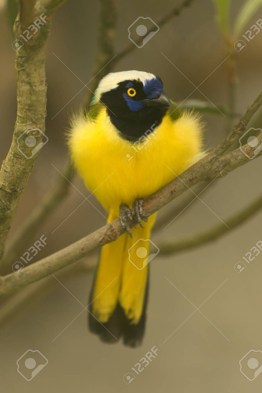 Green Jay,Cyanocorax yncas,resting on a branch in Ecuadorian rainforest Stock Photo - 11209387