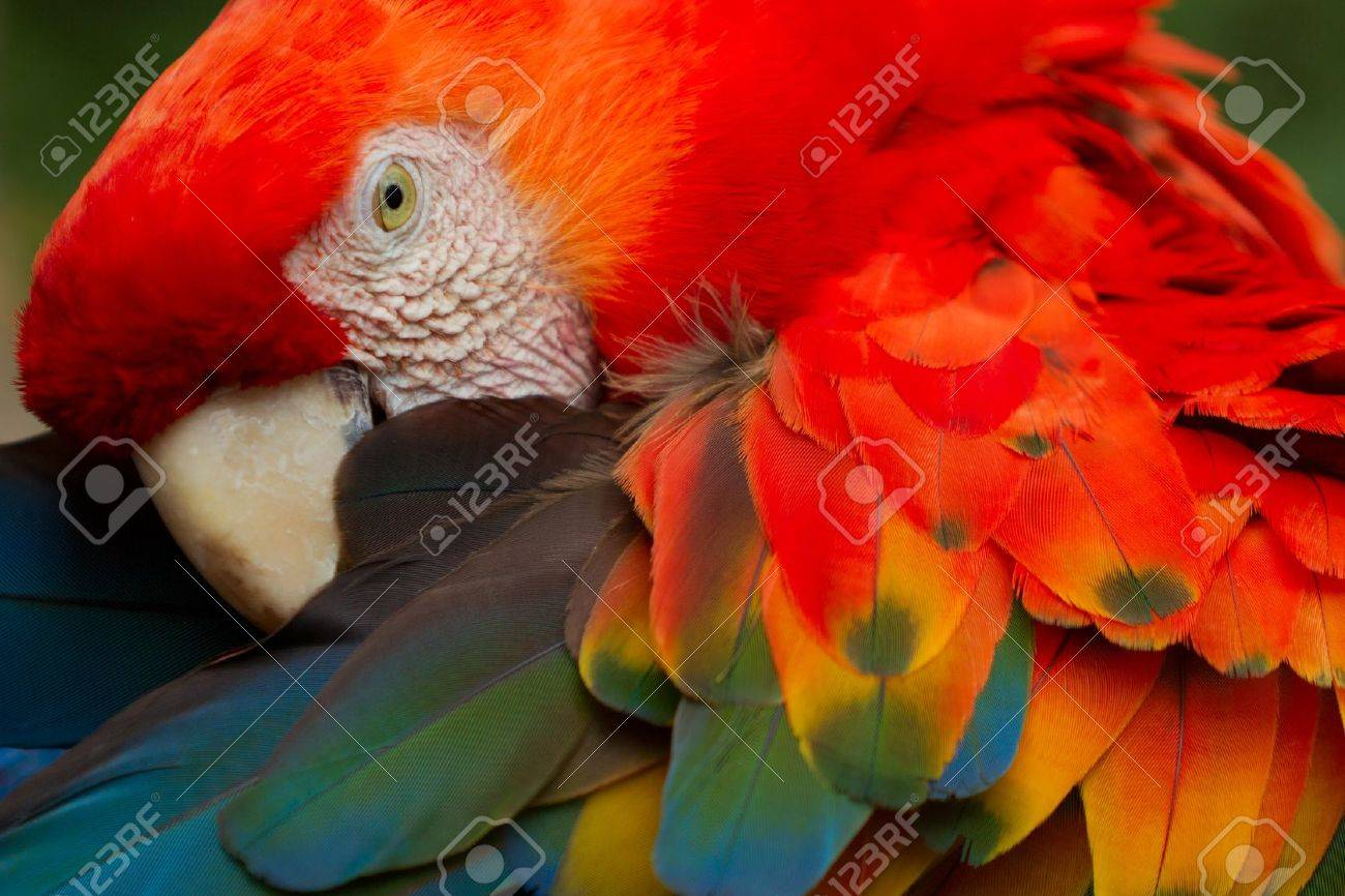 The Scarlet Macaw  is a large, colorful macaw. It is native to humid evergreen forests in the American tropics. Range extends from extreme south-eastern Mexico to Amazonian Peru, Bolivia and Brazil Stock Photo - 11938051