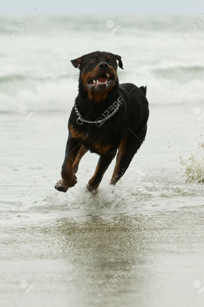 Adult Rottweiler Dog Running On The Beach Low Angle Shot Stock