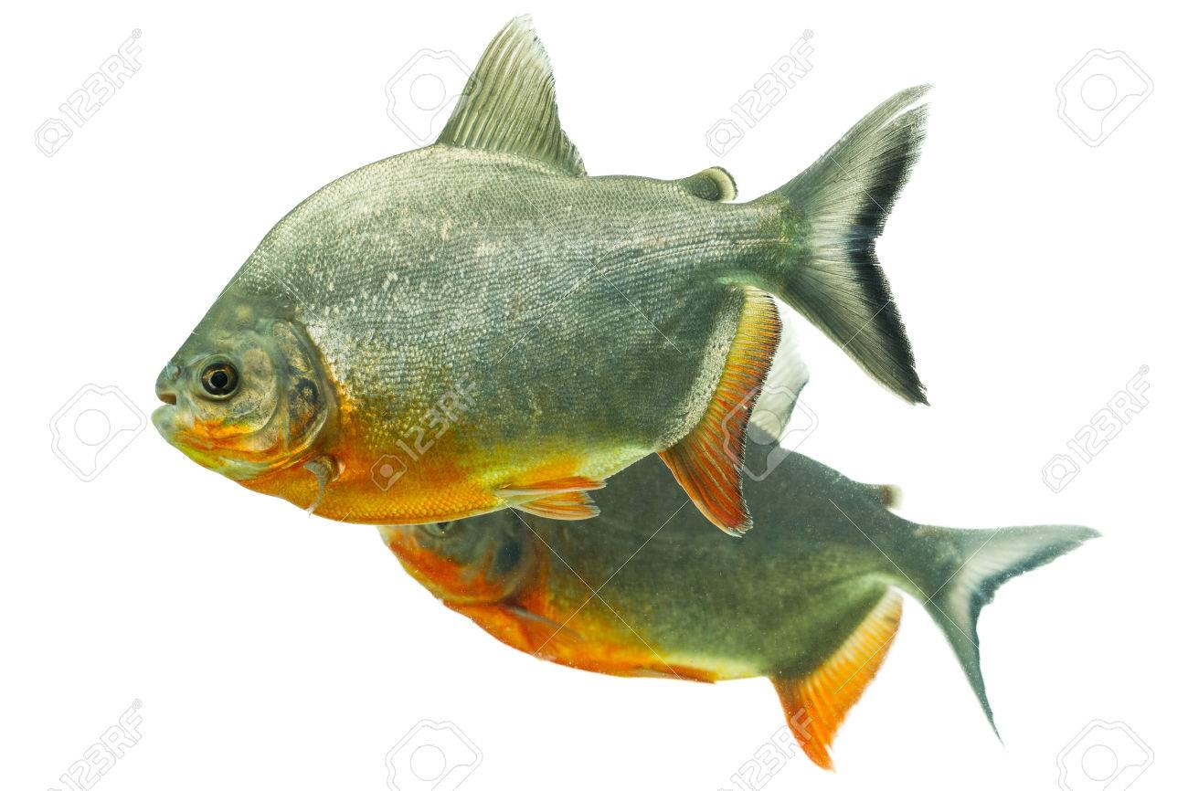Fish aquarium in umm al quwain - Mouth And Gill Tambaqui Fish Pair Isolated On White Shallow Dept Of Field