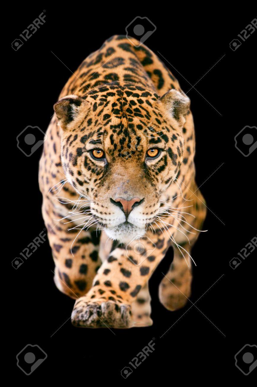 jaguar images u0026 stock pictures royalty free jaguar photos and
