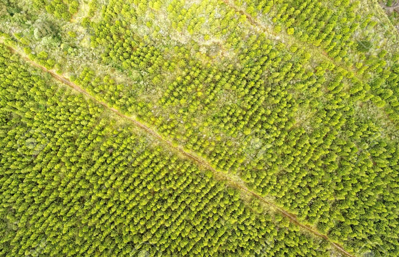 Pine Tree Reforested Area Cotopaxi Ecuador
