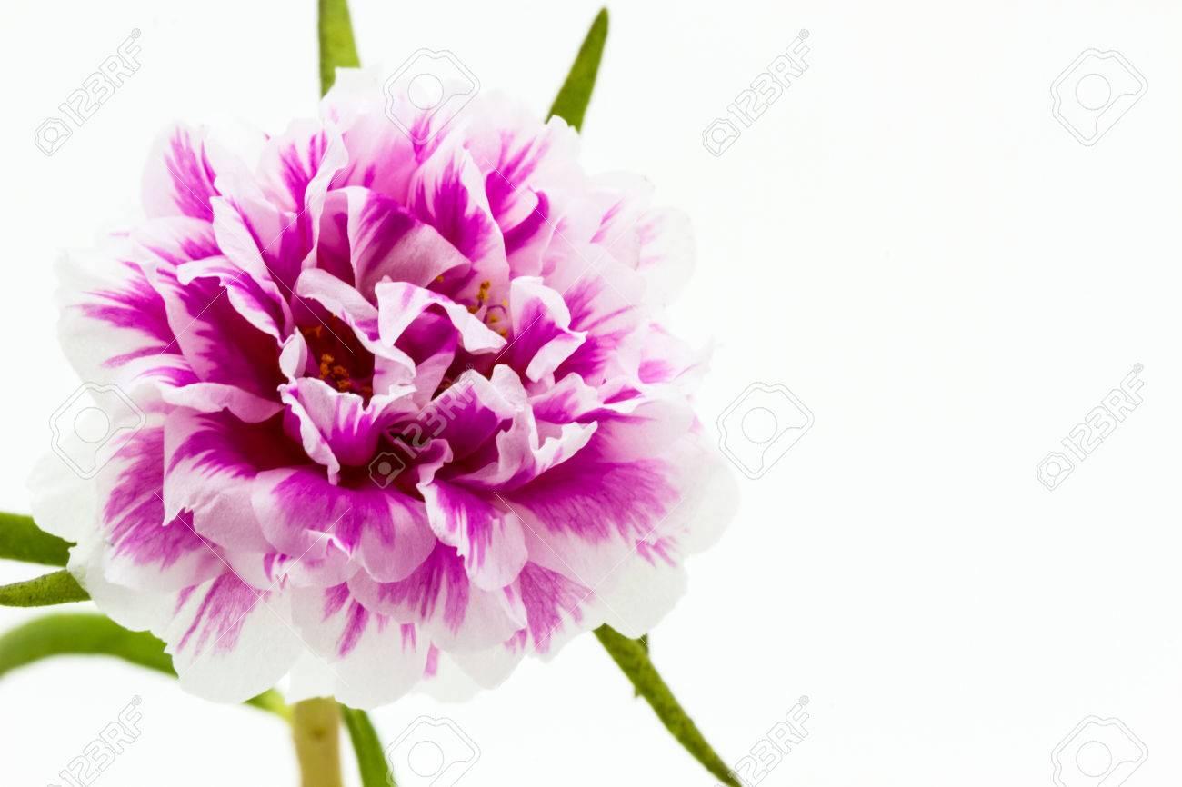 Pink Flower Isolate White Groundcommon Purslane Portulaca Flowers