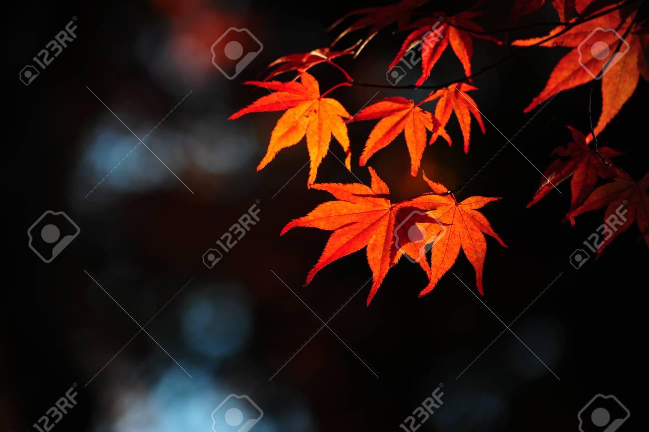 Japanese maple during autumn  Kyoto, Japan. Stock Photo - 25309509