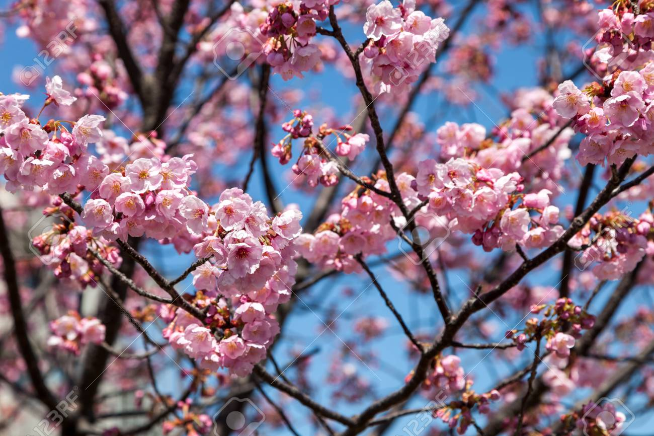 Pink Blossom Sukura Flowers On A Spring Day In Japan Beautiful