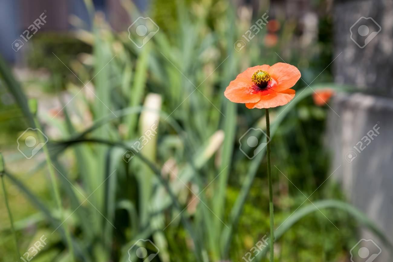 Poppy Flowers Field Summer Beautiful Landscape Stock Photo