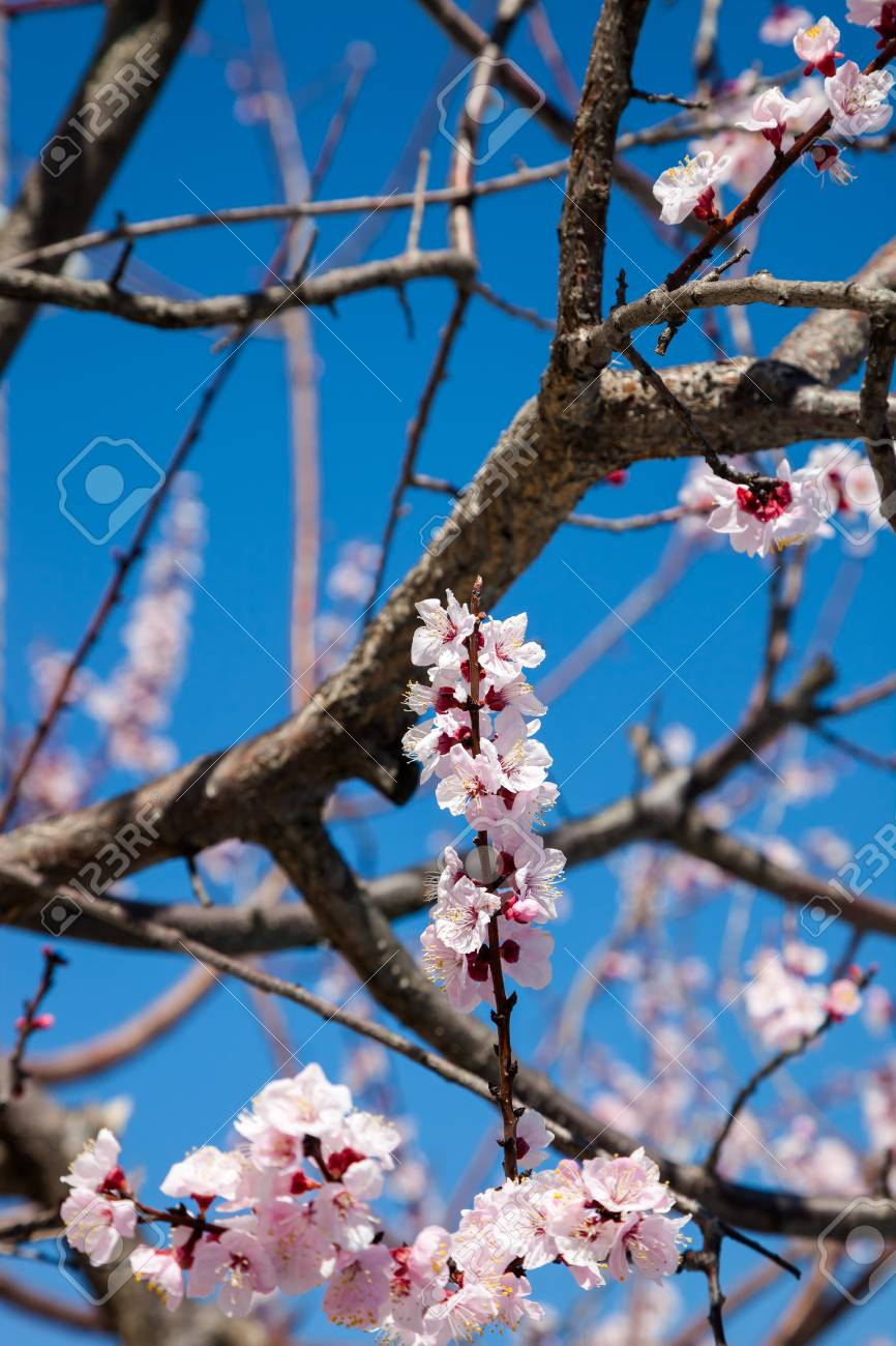 Pink Blossom Sakura Flowers On A Spring Day In Japan Beautiful