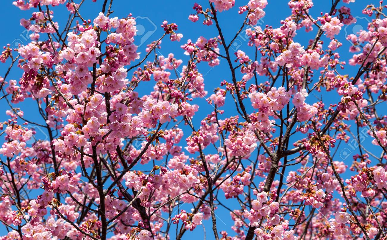 Pink Blossom Sakura Flowers On A Spring Day In Japan Stock Photo