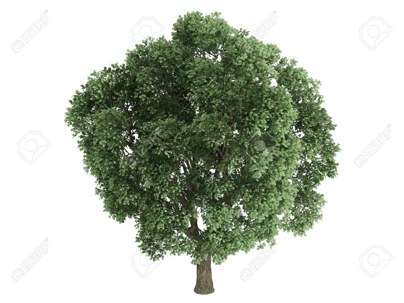 Rendered 3d isolated elm Stock Photo - 5386796