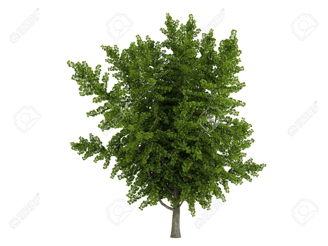 Rendered 3d isolated ginkgo biloba Stock Photo - 5387284