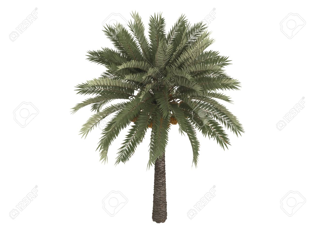 Rendered 3d isolated date palm (Phoenix dactylifera) Stock Photo - 5845558