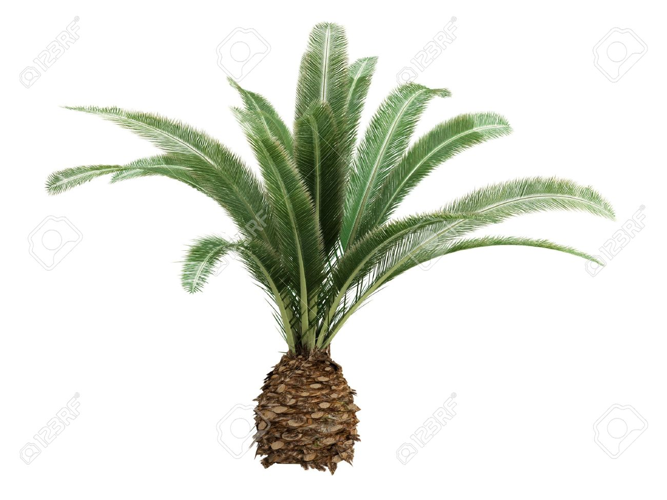 Rendered 3d isolated Date Palm (Phoenix canariensis) Stock Photo - 9158813