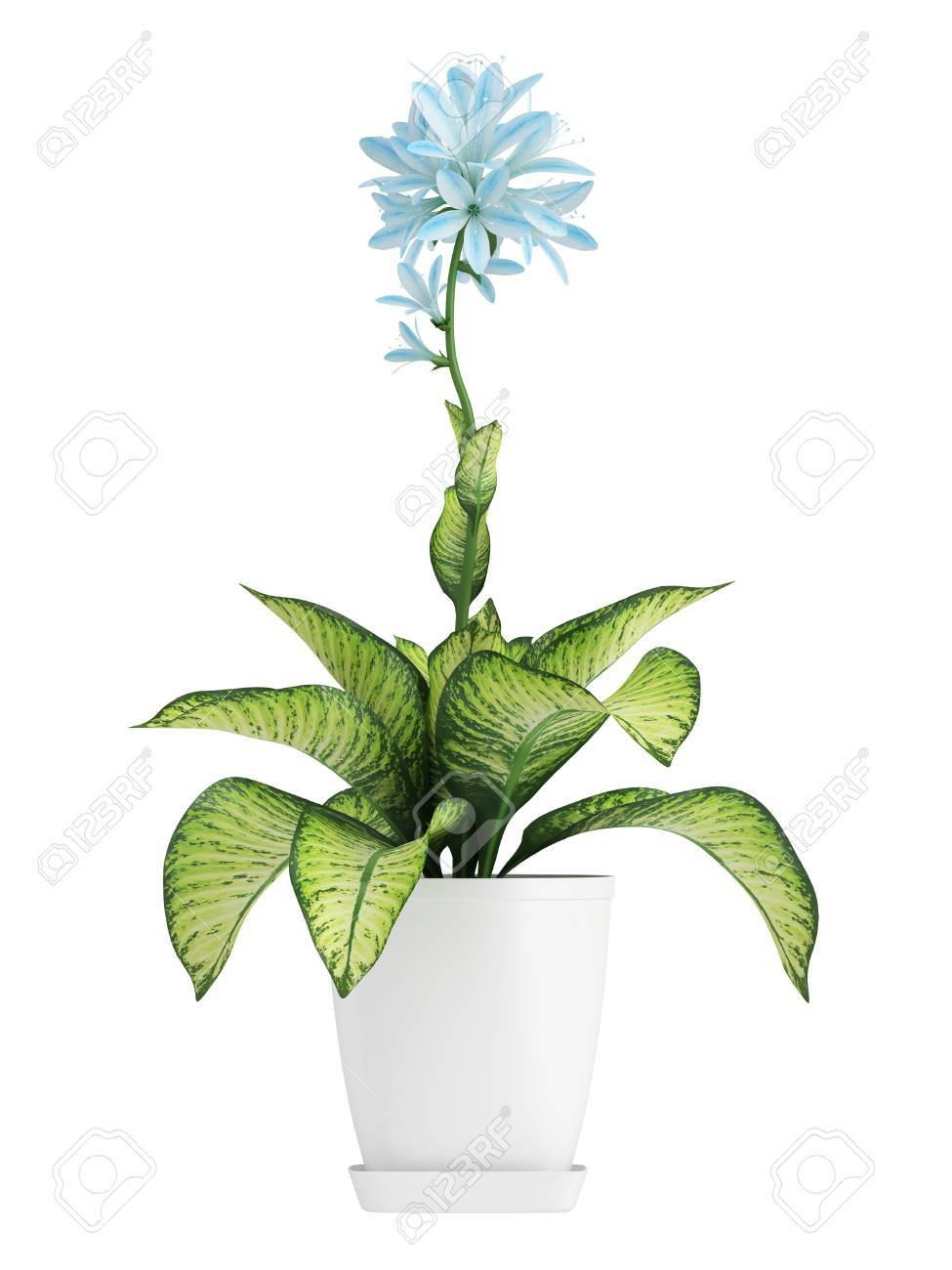 Pretty Blue Flowering Hosta With Variegated Green And Yellow Stock