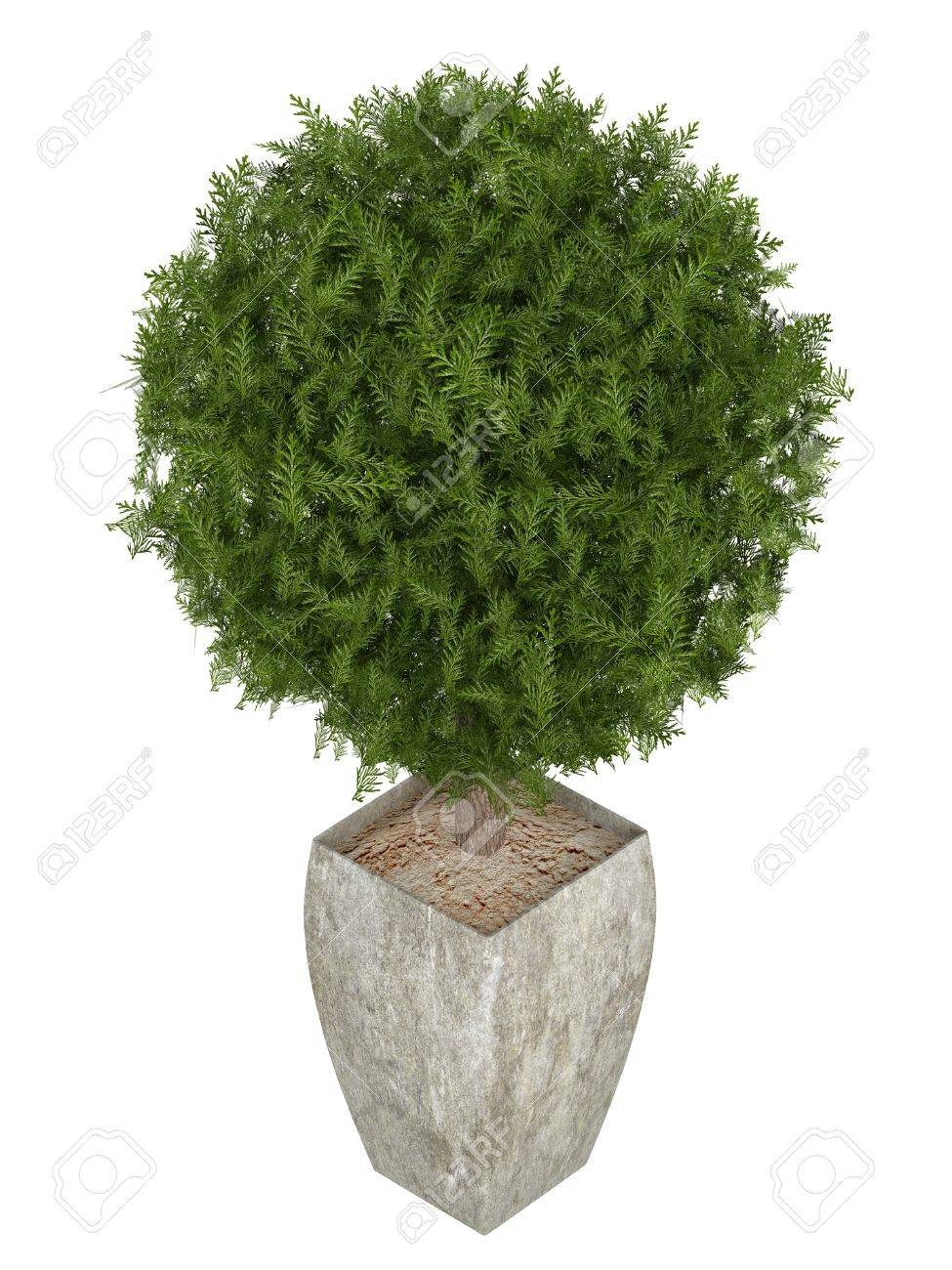 Evergreen Cypress Topiary Tree In A Container For Use Indoors Stock Photo Picture And Royalty Free Image Image 15780182