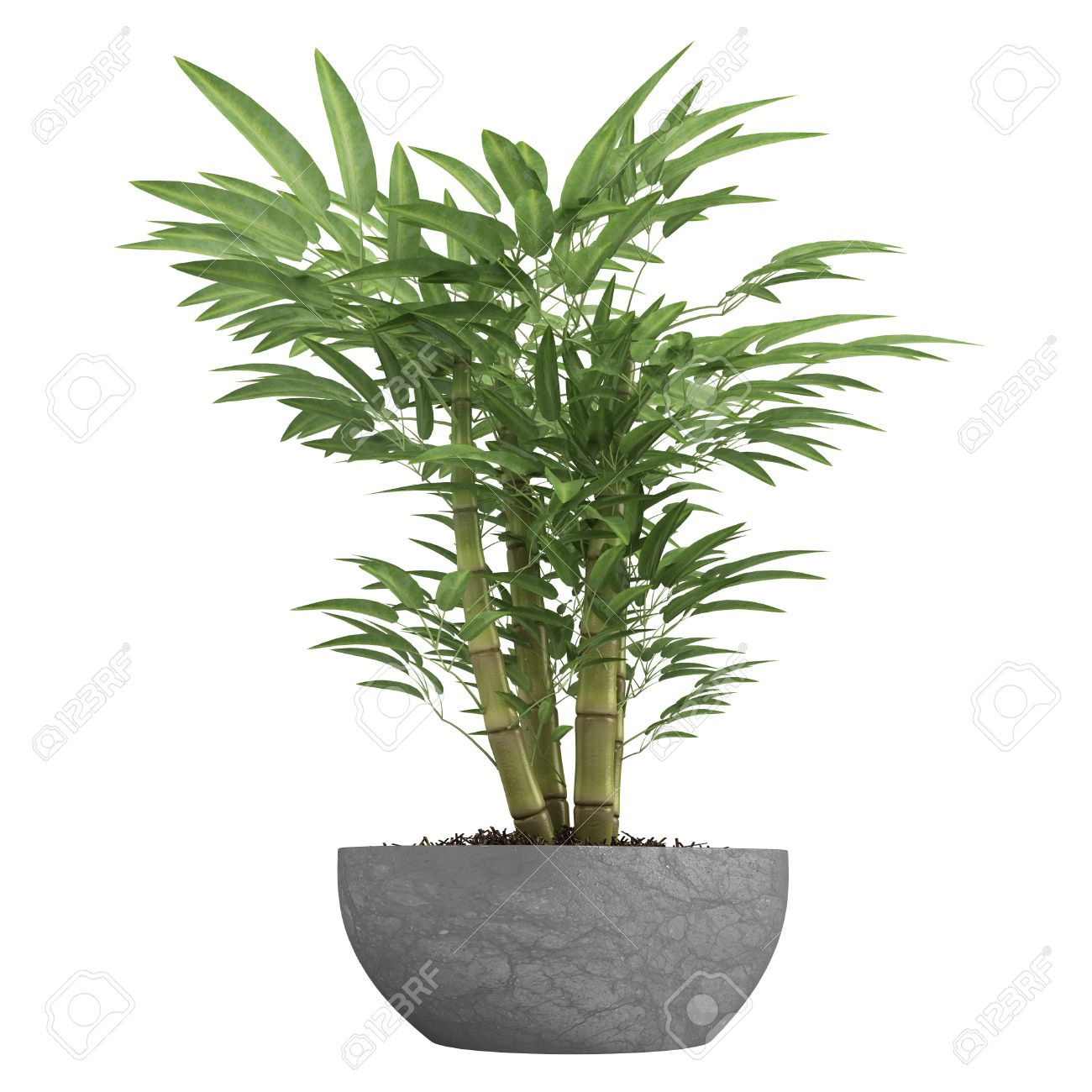 Ornamental bamboo growing in a container as a decorative houseplant  isolated on white Stock Photo -